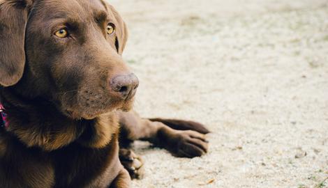 Chocolade vergiftiging huisdieren