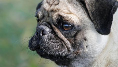 Ontsteking van de huidplooien bij de hond