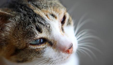 Niesziekte bij de kat