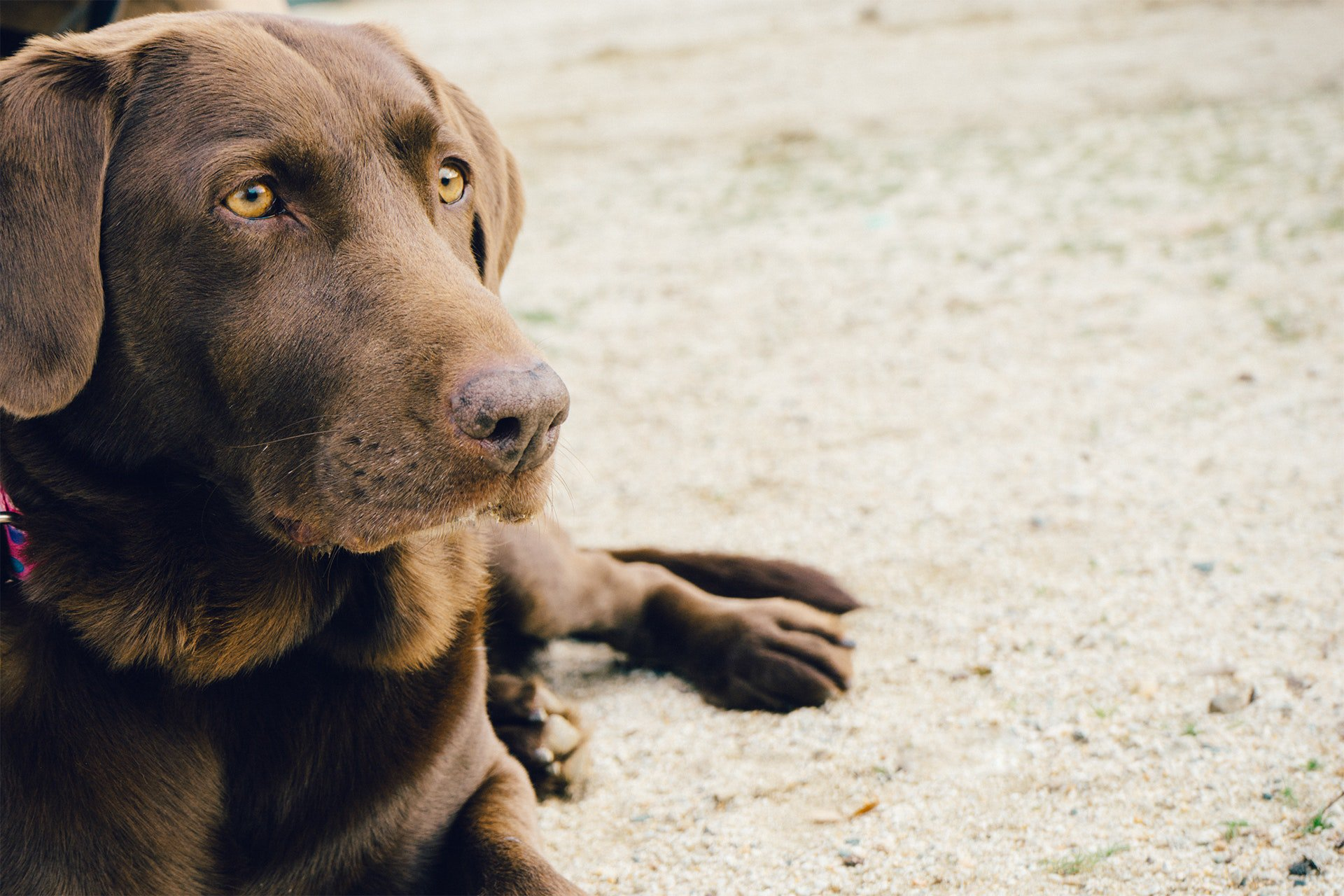 Chocolade vergiftiging bij hond