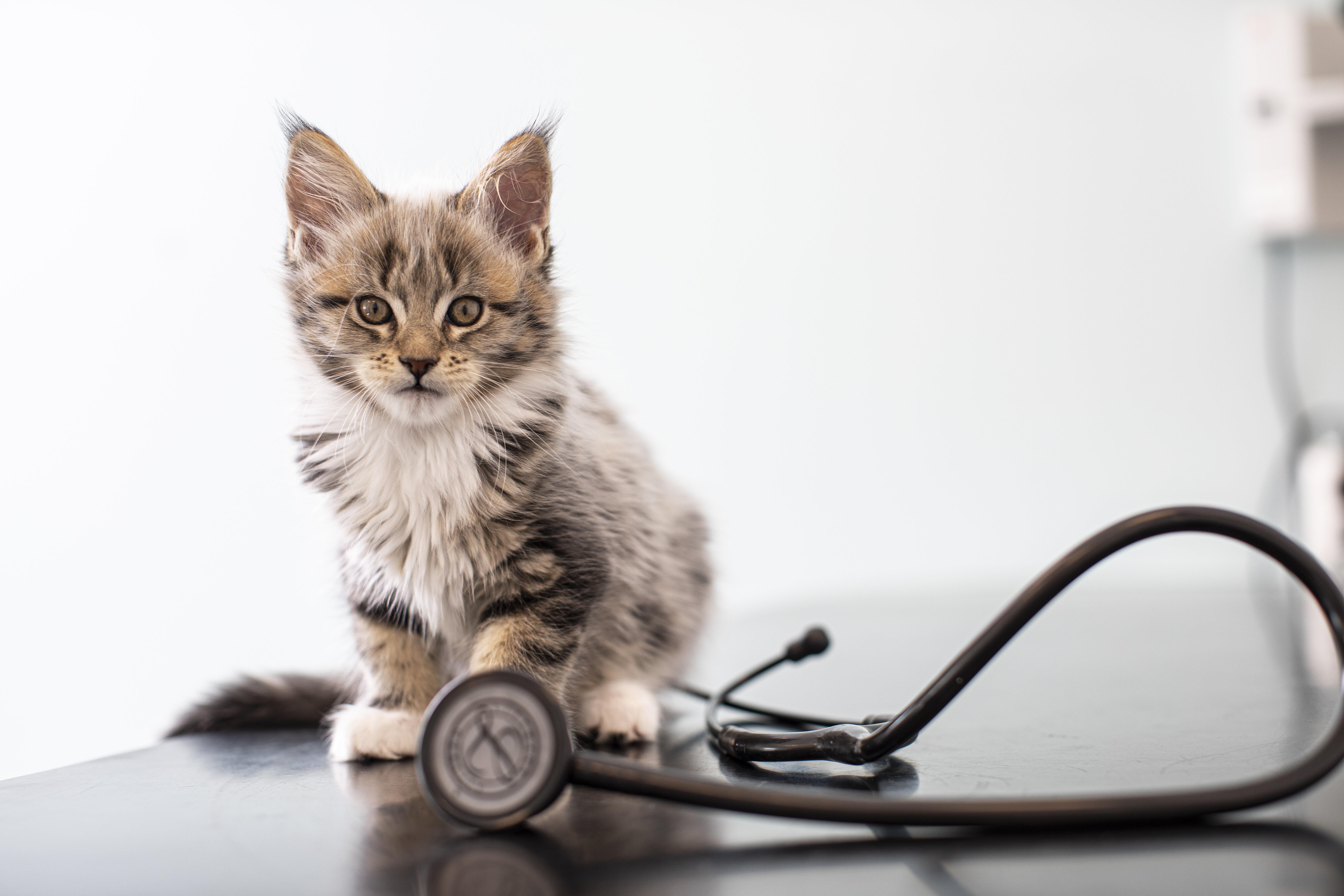 kitten-and-stethoscope-1.jpg